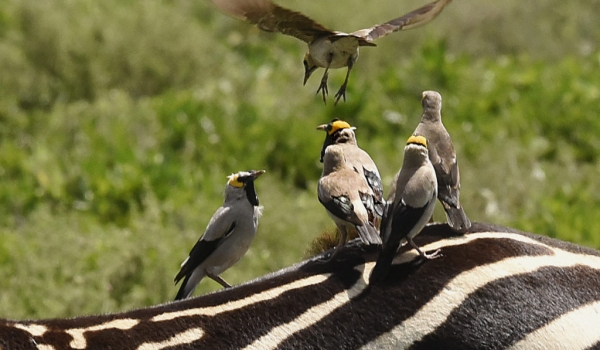 Wattled Starlings on Zebra