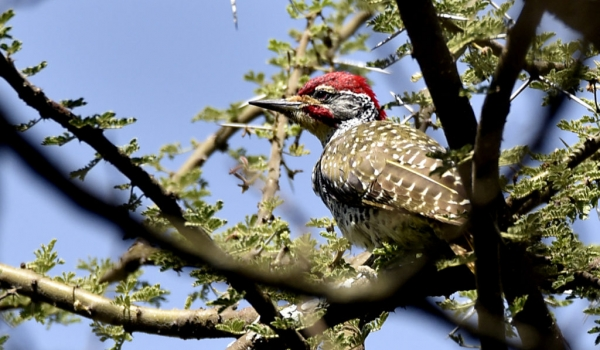 Nubian Woodpecker – male