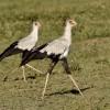 Secretary Birds – couple