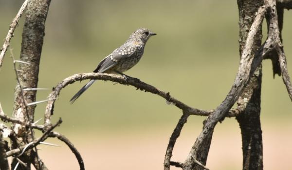 Silverbird – immature