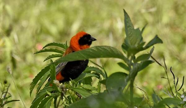 Southern Red Bishop – male