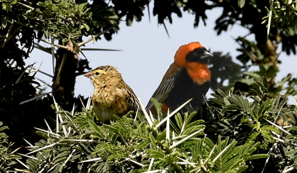 Southern Red Bishop – couple