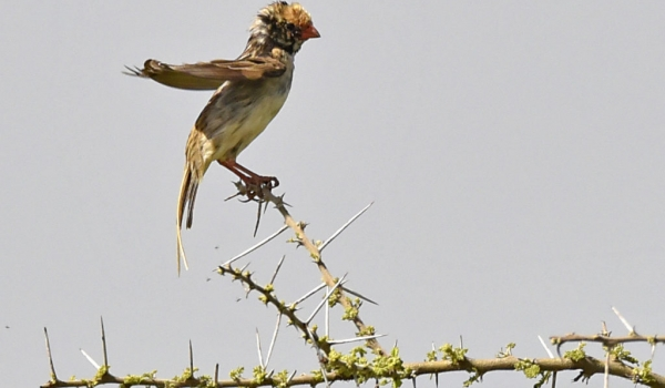 Straw-tailed Whydah – male