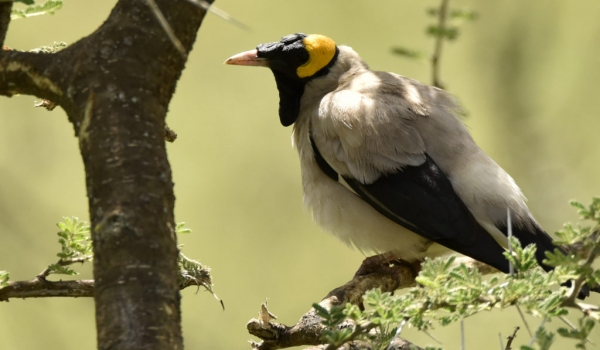 Wattled Starling breeding m.