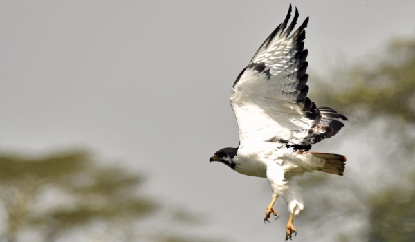 Augur Buzzard – male