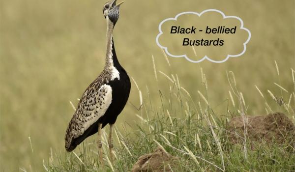 Black-bellied Bustard – m. …..