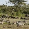 Wildebeests and Zebras