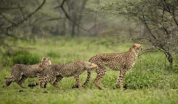 to track impalas