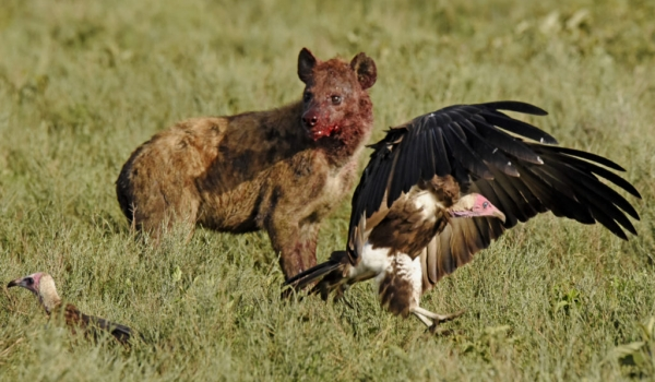 to Hooded Vultures