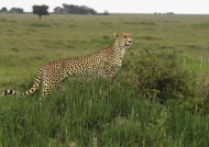 Cheetah f. in Ndutu Plains