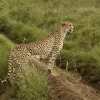 Cheetah female adult