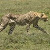 Mum Cheetah is coming