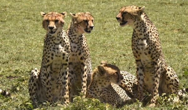 Cheetah brain storming
