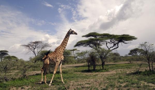 Giraffe surrounded…