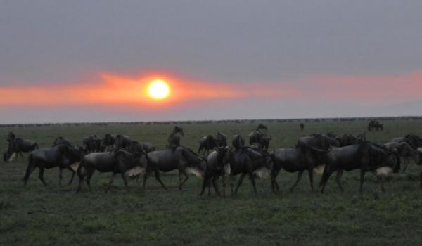 Wildebeests already active!