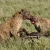 Their ferocity …
