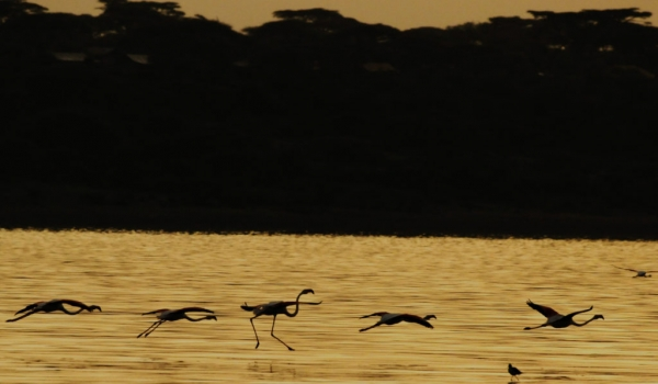 Flamingoes at sunrise