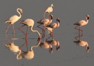 Flamingoes-lesser and greater