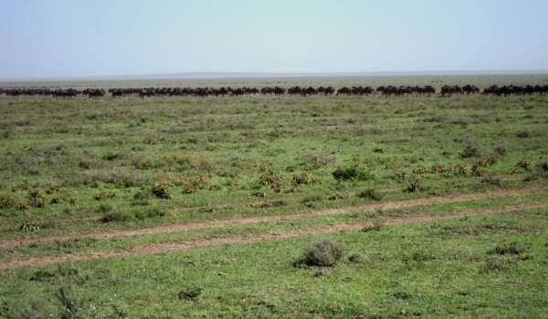 Wildebeests near the skyline