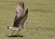 …heaviest flying bird
