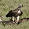 Lappet-faced Vulture on the kill