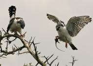 Pygmy Falcons-juv f (left) & m