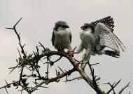Pygmy Falcons-juv f (left) & f