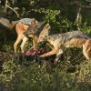 Black-backed Jackals-couple