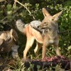 Black-backed Jackal…