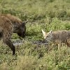 Hyena facing Golden Jackal