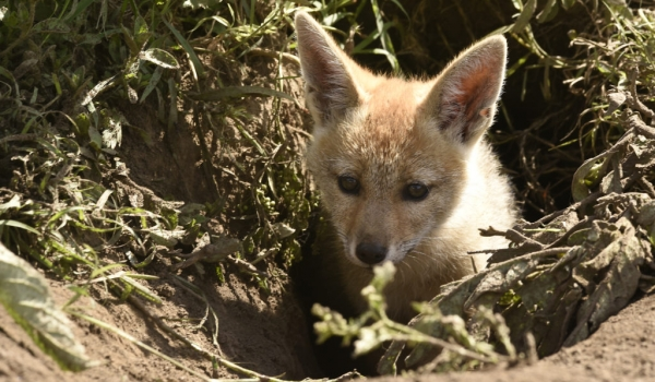 Pup waiting in the den