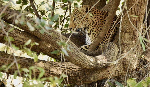 Leopard f. on the lookout…