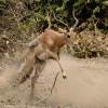 a male Impala…