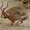 Leopard Kill (in progress)