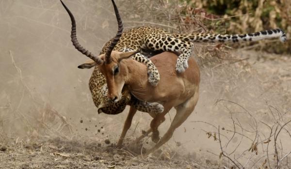 Zambia – Leopard female fighting Impala