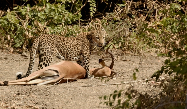 to steal the Leopard's prey