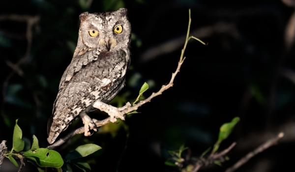 African Scops Owl – grey form