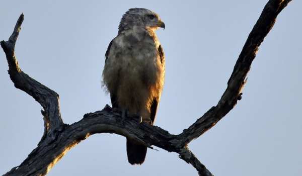 WEST Banded Snake-eagle juv