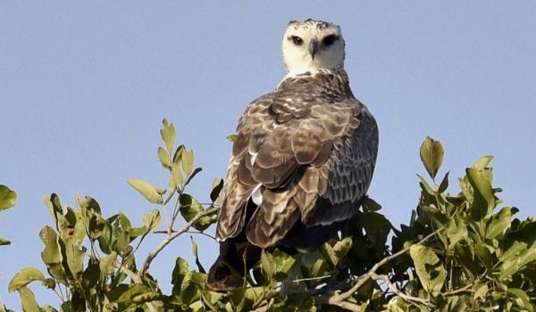 Martial Eagle – juv.
