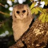 Verreaux's Eagle Owl – juv.