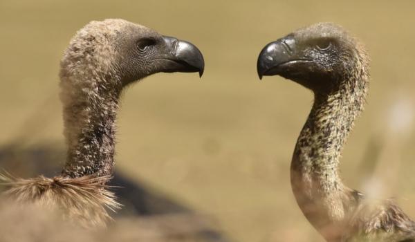 Vultures (Raptors)