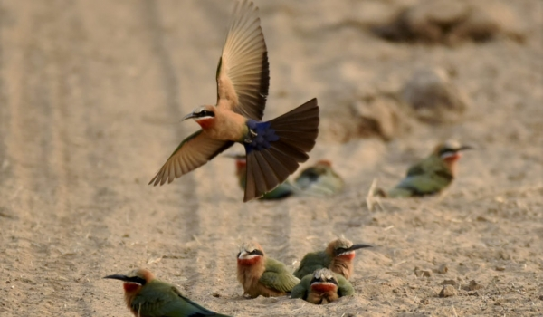 White-fronted Bee-eaters …