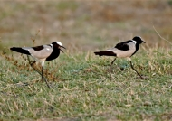 Male courting the female…
