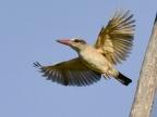 Kingfishers (5 species)