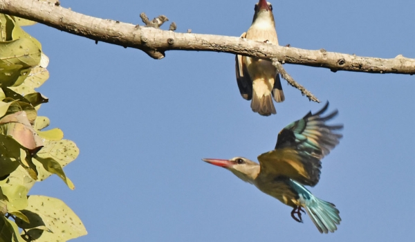 bw-hooded kingfisher-f. down