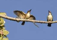 Bw-hooded Kingfishers-cple