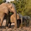Elephant with babies