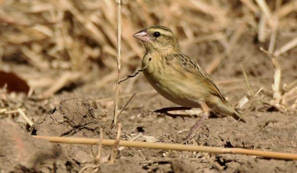 Dusky Indigobird – female