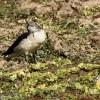 Knob-billed Duck – non br.