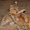 in the arms of the Leopardess